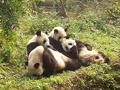 Save this Panda Family