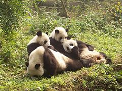 Save this Panda Family